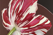 Tulip – red and white
